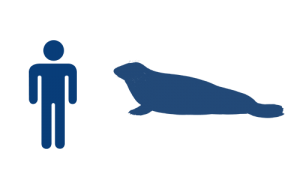 phoque-gris-bleu